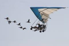 Vol avec les oies Royalty Free Stock Image