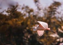 Vol blanc de héron Images libres de droits