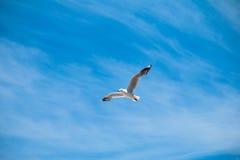 Vol blanc de mouette dans le ciel bleu Photographie stock