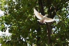 Vol blanc de pigeon avec des arbres à l'arrière-plan Photos stock