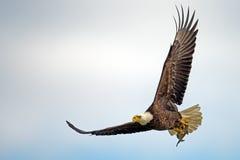Vol chauve américain d'Eagle In avec des poissons photos stock