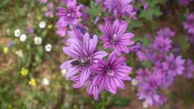 Vol d'abeille à partir de fleur pourpre de mauve clips vidéos