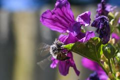 Vol d'abeille sur une fleur violette à alimenter sur le pollen images libres de droits