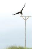 Vol d'aigle chauve Photos libres de droits
