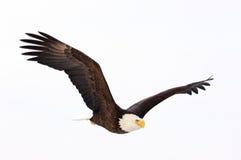 Vol d'aigle chauve photographie stock libre de droits