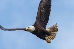 Vol d'aigle chauve Photo libre de droits