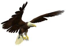 Vol d'aigle chauve et côté américains de chasse Images stock