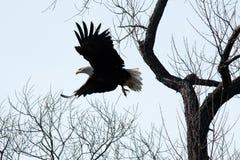 Vol d'aigle chauve par les arbres Photographie stock libre de droits