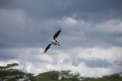 Vol d'aigle de poissons Images libres de droits