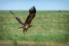 Vol d'aigle de steppe image libre de droits