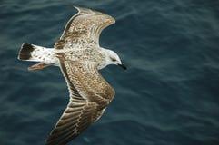 Vol d'albatros au-dessus de la mer Photo libre de droits