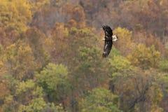 Vol d'automne d'aigle chauve Images stock