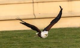 Vol d'Eagle Images libres de droits