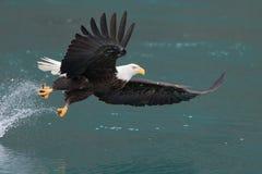 Vol d'Eagle chauve, Homer Alaska Photographie stock
