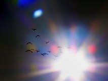 Vol d'IBIS dans le coucher du soleil Photo libre de droits