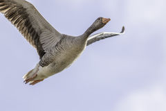 Vol d'oie aérien avec l'espace de copie Photographie stock libre de droits