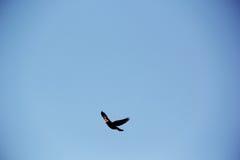 Vol d'oiseau dans le ciel de Napa Image libre de droits