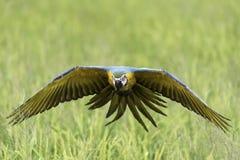 Vol d'oiseau de beauté dans la ferme de riz, action Images stock