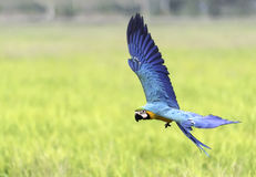 Vol d'oiseau de beauté dans la ferme de riz, action Images libres de droits