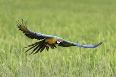 Vol d'oiseau de beauté dans la ferme de riz, action Photos libres de droits