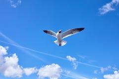 Vol d'oiseau de mouette dans le ciel bleu Image stock