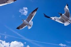 Vol d'oiseau de 2 mouettes dans le ciel bleu Photos stock