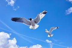 Vol d'oiseau de 2 mouettes dans le ciel bleu Photographie stock libre de droits