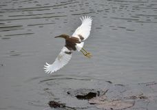 Vol d'oiseau d'eau de lac Photographie stock