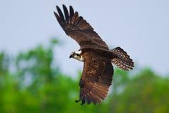 Vol d'Osprey Photographie stock libre de droits