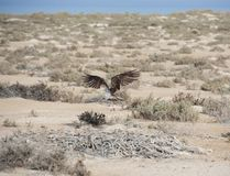 Vol d'Osprey au-dessus des buissons Photo stock