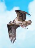 Vol d'Osprey avec des poissons Photographie stock