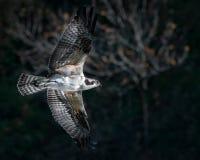 Vol de balbuzard Photo libre de droits