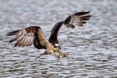 Vol de balbuzard avec des serres  image stock