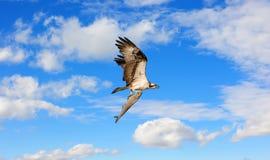 Vol de balbuzard avec un grand poisson dans des serres dans les nuages photo libre de droits