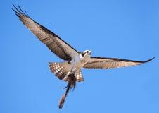 Vol de balbuzard dedans avec le matériau de construction de nid Photos stock