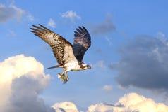 Vol de balbuzard en nuages avec des poissons dans des serres photo libre de droits