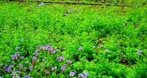 Vol de bourdon au-dessus du champ vert avec des fleurs banque de vidéos
