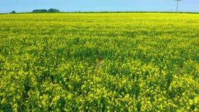 Vol de bourdon par un champ du bas jaune de graine de colza à la terre - le printemps 2019 banque de vidéos
