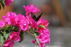 Vol de Buttherfly dedans autour des arbres Photos stock