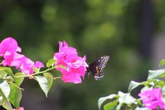 Vol de Buttherfly dedans autour des arbres Photos libres de droits