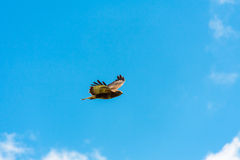 Vol de Buzzard Photographie stock libre de droits