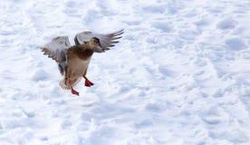 Vol de canard contre la neige blanche en hiver Images libres de droits
