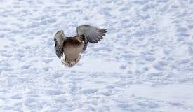 Vol de canard contre la neige blanche en hiver Images stock