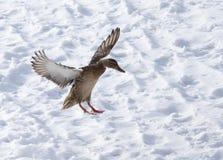Vol de canard contre la neige blanche en hiver Image stock