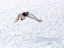 Vol de canard contre la neige blanche en hiver Photos stock