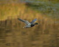 Vol de canard de Mallard Images stock