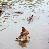 Vol de canard hors de l'eau images libres de droits