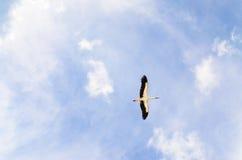 Vol de cigogne Image stock