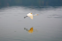 Vol de cigogne au lac Sagar d'homme. Photos stock