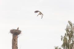 Vol de cigogne blanche dans le ciel Images libres de droits